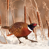 APH-10067: Rooster Pheasant