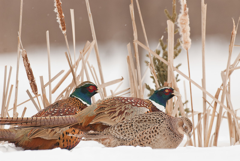 APH-10089: Ring-necked Pheasants in cattails