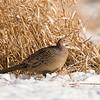 APH-9033: Hen Pheasant