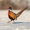 Alert Rooster Pheasant