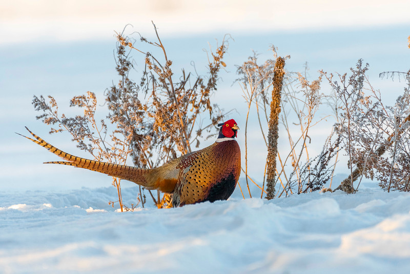 Rooster Pheasant in early morning light