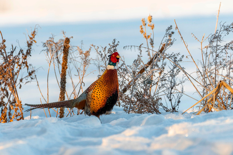 Rooster in early morning light