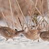 APH-11008: Hen Pheasant trio