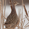 APH-10087: Hen Ring-necked pheasant in cattails