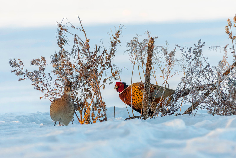 Rooster and hen in early morning