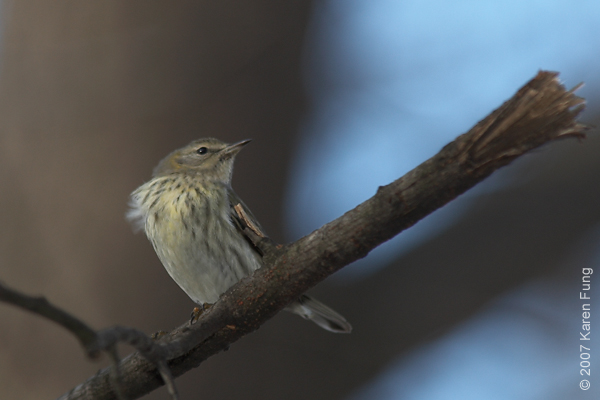 January 6th, 2007: Cape May Warbler (first winter female).  Last sighting was on January 17th.  The sapsucker disappeared around the same time.