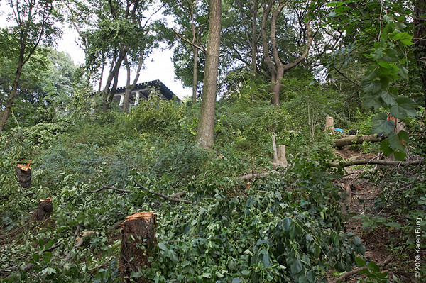 "Aug 18th:  Today these trees were cut down in Riverside Park's Bird Sanctuary, despite the Sanctuary's designation as a ""Forever Wild"" area.  That's the Viewing Platform at the top, which is located on Riverside Drive, across from Grant's Tomb."