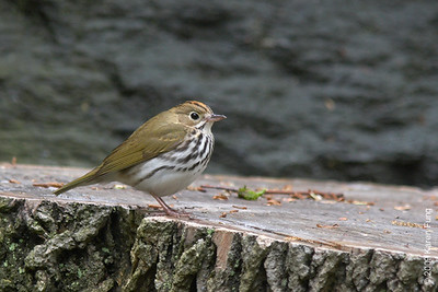May 6th:  Ovenbird in Riverside Park