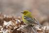 April 13th: Pine Warbler in Riverside Park