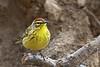 April 13th: Palm Warbler in Riverside Park