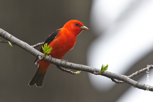 4 May: Scarlet Tanager in Riverside Park