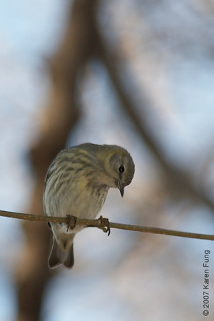 January 6th, 2007: Cape May Warbler (first winter female), still in Riverside Park.