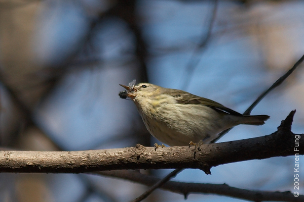 December 24th, 2006: When not feasting on sap, the female Cape May Warbler would go after insects.  She caught and devoured several large flies during the two hours I spent watching her.