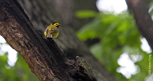 May 6th:  Hooded Warbler in Riverside Park.