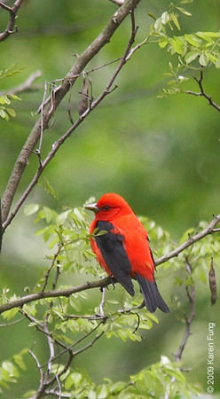 May 6th:  Scarlet Tanager in Riverside Park.  Photographed from the Drive above, and heavily cropped.