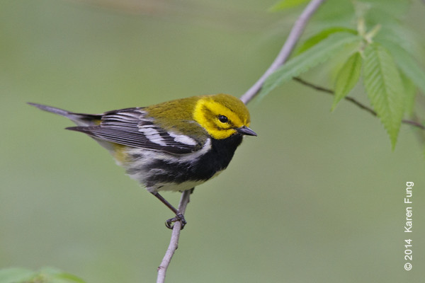 4 May: Black-throated Green Warbler in Riverside Park