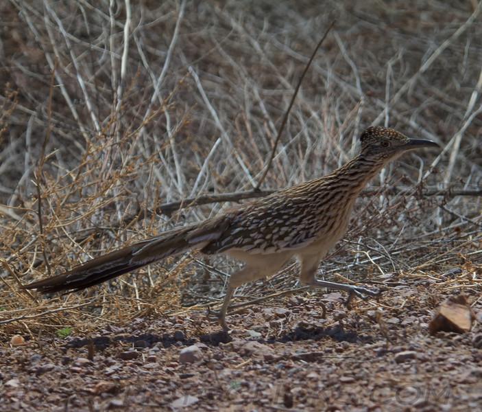 Greater Roadrunner (b1841)