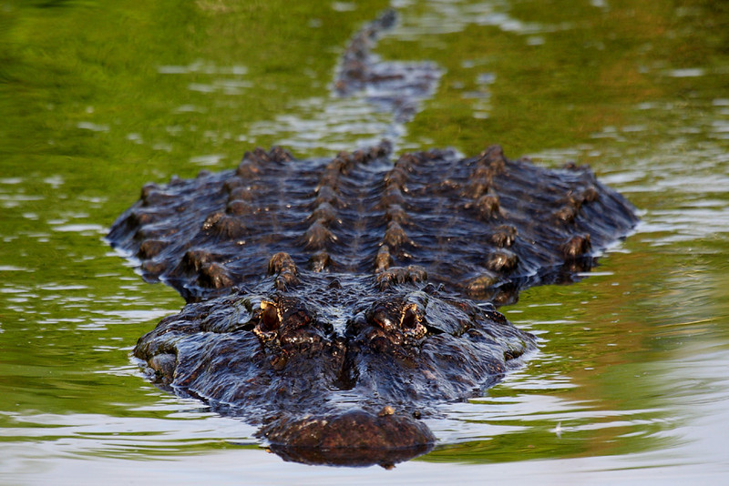 Gatorland covers 110 acres and protects more than 1,700 alligators, all of whom look very well fed. I've seen in the wild gators just as long as many of the gators in Gatorland, but in Gatorland they are wide, which probably means fat.