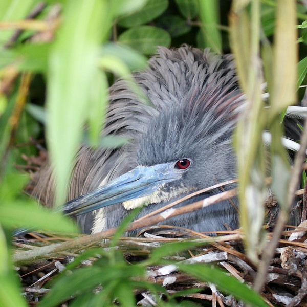 A baby tri-colored heron sits on her nest.