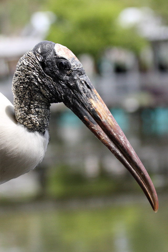 The head of a wood stork that only a baby could love.