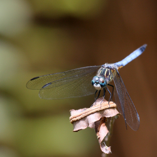 A blue dragonfly, maybe a blue dasher, but I'm not certain. A mature blue dasher has green eyes, while this one has blue eyes, but everything else seems to indicate a blue dasher. So maybe this is an immature blue dasher. I think it takes me more time to identify the subjects I take than to take their photos. Can't they just wear name tags?