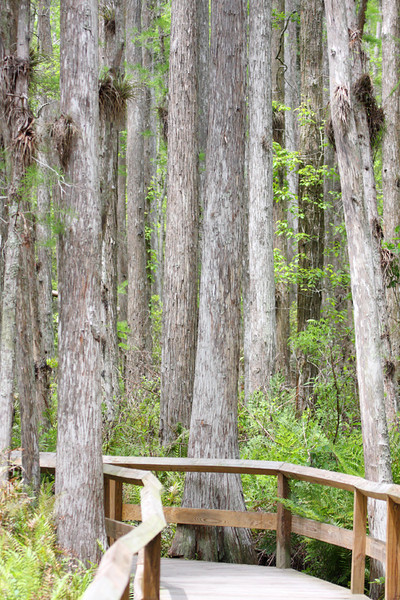The Jungle Walk at Gatorland is a boardwalk through a cypress forest, and is easily accessible by wheelchairs.