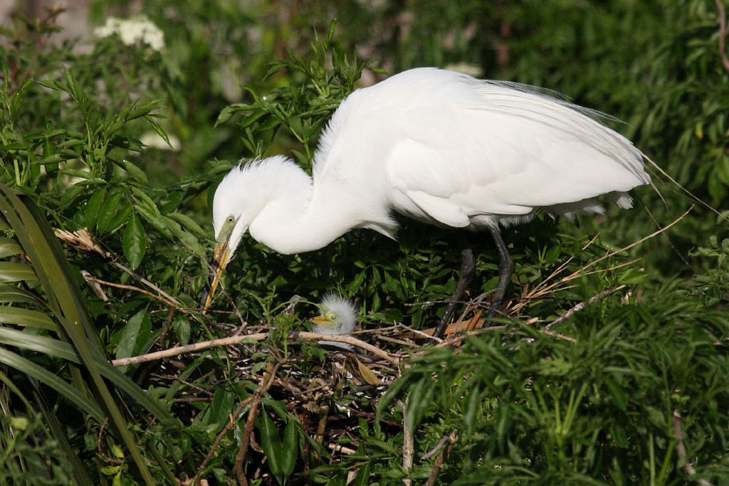 A great egret with a chick on their nest.