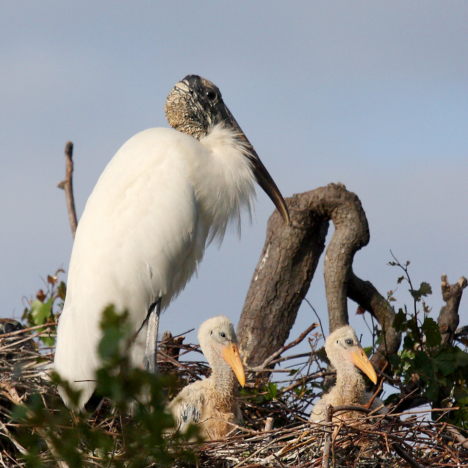 An adult wood stork and two chicks. Note that the chicks still have down on their head, which will go away by the time they grow up. The featherless head keeps blood from prey from fouling the feathers and allows the stork to more easily keep its head clean.