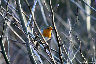 Winter Robin 009 (December 2010)