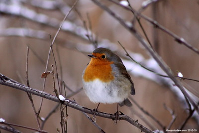 Winter Robin 006 (December 2010)