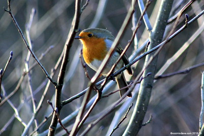 Winter Robin 010 (January 2011)