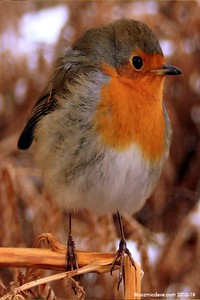 Winter Robin 002 (September 2010)