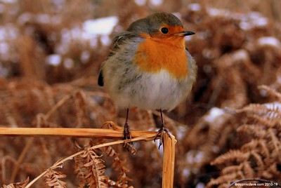 Winter Robin 003 (November 2010)