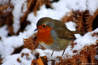 Winter Robin 005 (December 2010)