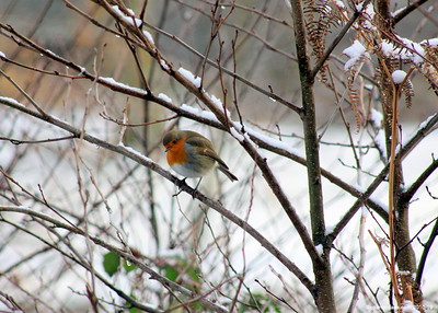 Winter Robin 004 (December 2010)