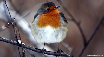 Winter Robin 007 (December 2010)
