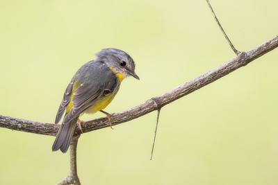 Eastern Yellow Robin_David Stowe_6289