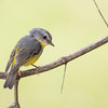 Eastern Yellow Robin_David Stowe_6289