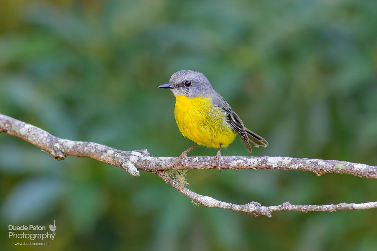 Eastern Yellow Robin