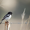 D Stowe_Hooded Robin-8146
