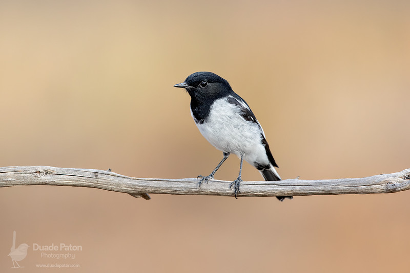 Hooded Robin (Male)