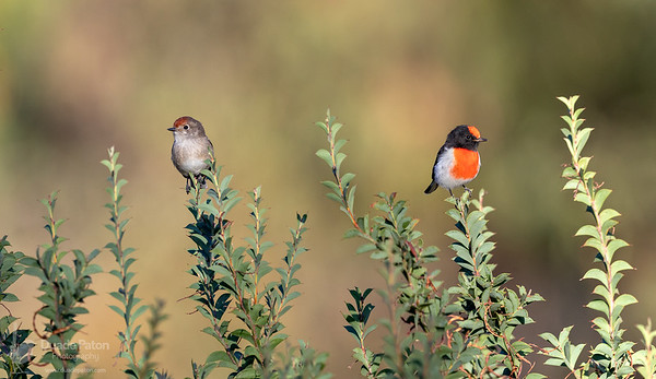 Red-capped Robins