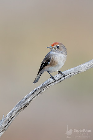 Red-capped Robin (Female)