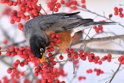 #1261  American Robin eating Winterberries