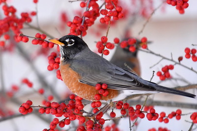 #1260  American Robin amidst Winterberries
