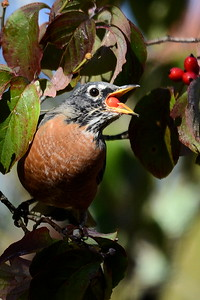 1354  American Robin eating dogwood fruit