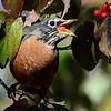 1354  American Robin eating dogwood fruit