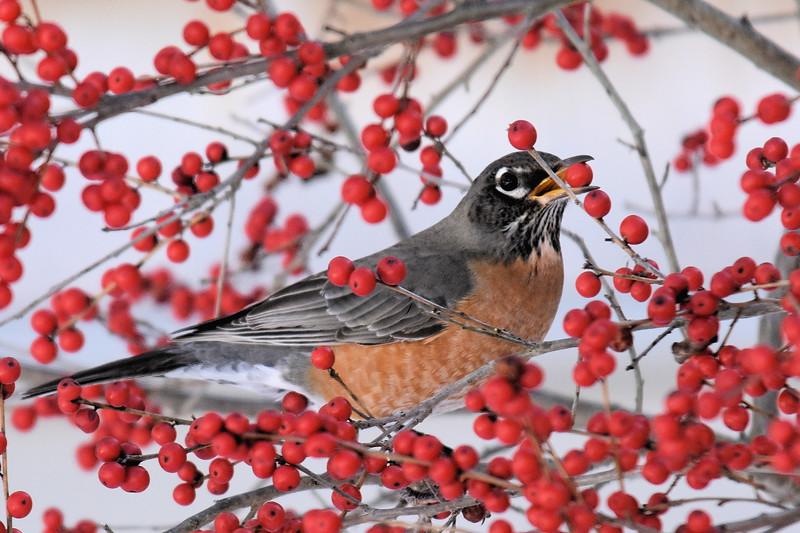 #1264  American Robin eating Winterberries
