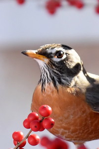 #1254 American Robin amidst Winterberries
