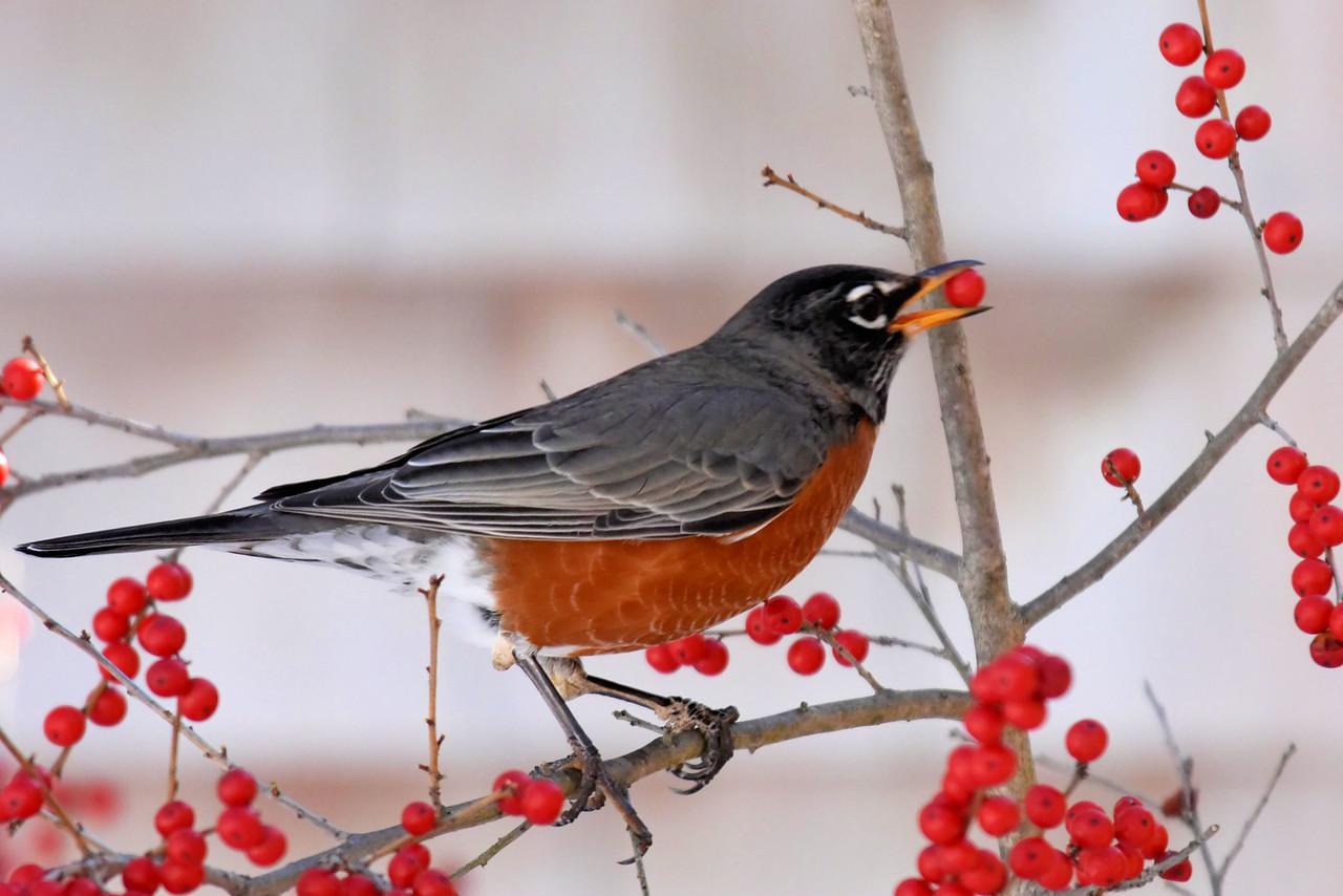 #1255  American Robin eating Winterberry